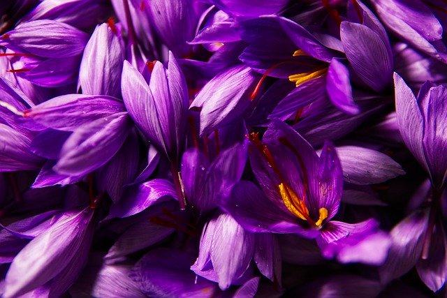 Prise de vue A6000, Fleurs de safran cueillies